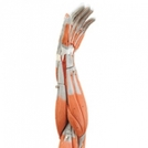 Full Arm Model