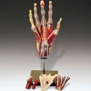 Hand and Wrist Model