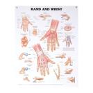 Anatomical Wall Charts