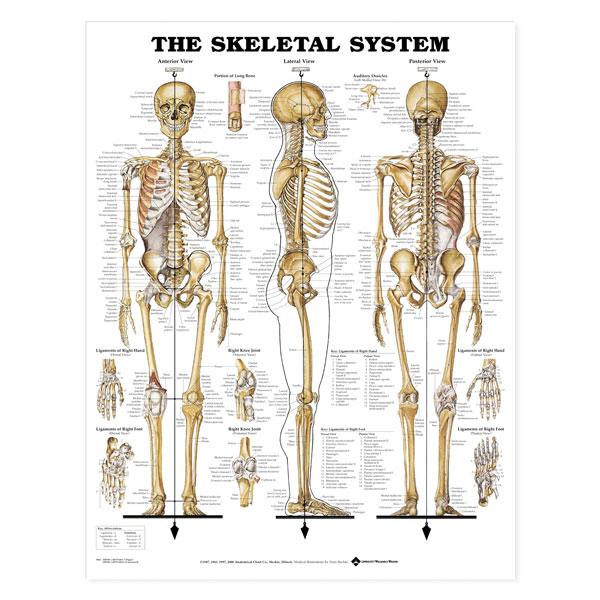 Anatomical Wall Charts Vinyl Laminated North Coast Medical